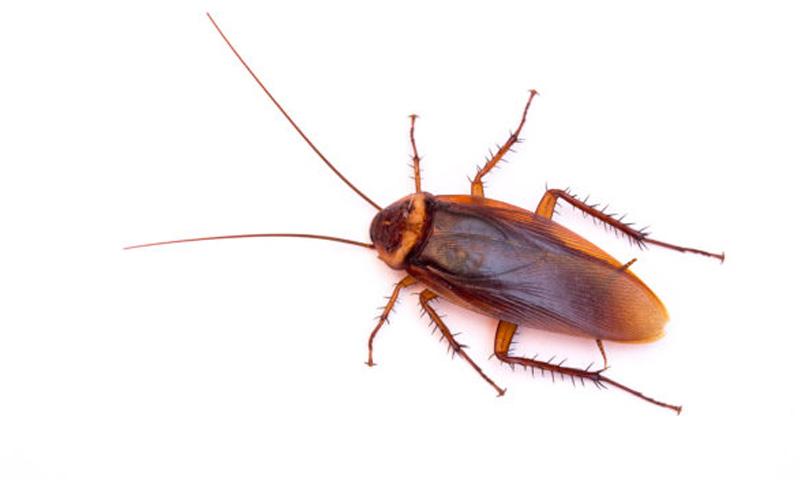 Американска хлебарка - пръскане срещу хлебарки