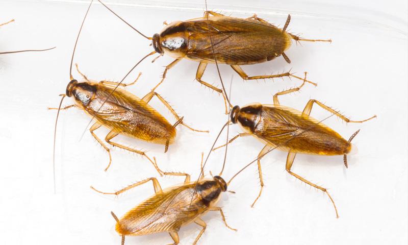 Германска хлебарка - борба с вредители