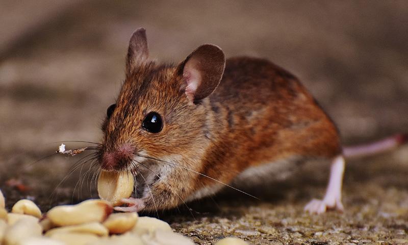 Мишки. Видове вредители - Дезинфекционна Станция ХЕИ