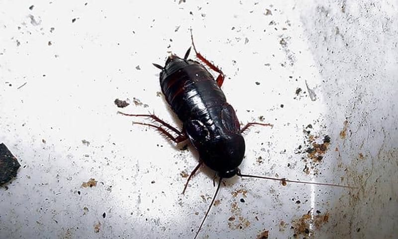 Ориенталска хлебарка - пръскане срещу хлебарки