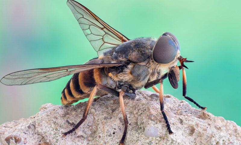 Конска муха - борба с вредители