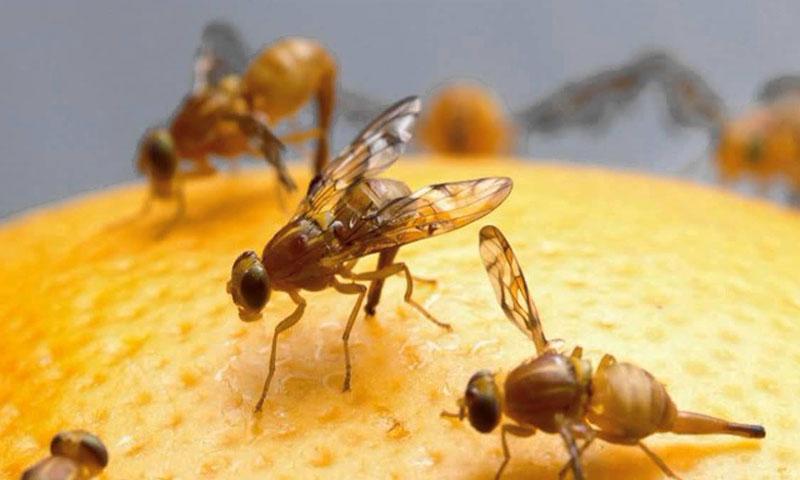 Плодова муха - пръскане срещу мухи