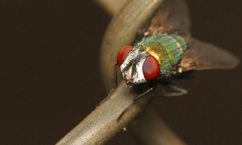 Зелена муха - борба с мухите